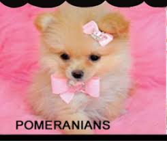white teacup yorkie puppies for sale. Wonderful Puppies For White Teacup Yorkie Puppies Sale A