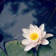White lotus flower Stock Photo by ...