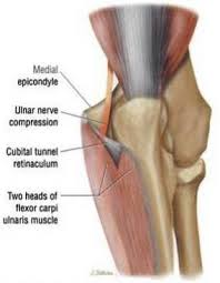 ulnar nerve es from the al cord of the brachial plexus c8 t1