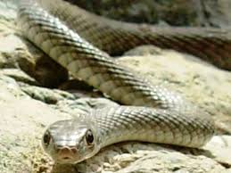 Snake Identification Chart Snakes Venomous And Non Venomous Found In The Uae A Guide