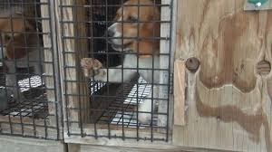beagle trainer responds to claims