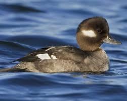 Image result for bufflehead ducks