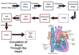 Heart Ck 12 Foundation
