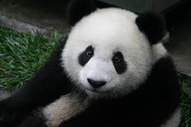 Image result for panda bear facts