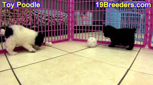 toy poodle puppies in south bend indiana county in allen hamilton st joseph va