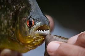 Wildlife Guide Piranha Tambopata Peru Rainforest