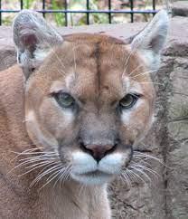 Puma – Wiktionary