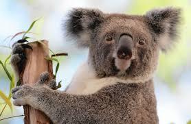 koala study sheds light on their surprising mating habits koala study sheds light on their surprising mating habits chicago tribune