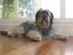Resultado de imagen para imagenes de perro pastor catalán