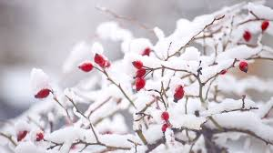 real snow background. Beautiful Background Wild Rose Covered With Real Snow Beautiful Christmas Tree Background Stock  Video Footage  Videoblocks On Real Snow Background R
