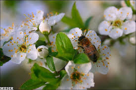 Image result for شکوفه های بهاری