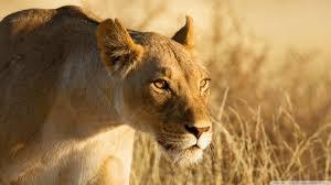 The Pride, A realistic Lion Rp  Images?q=tbn:ANd9GcQ0oxceu27nlJOyxnjsNbo-dZ-szl-xB2K9ApDI3hU2qxQhUM2C