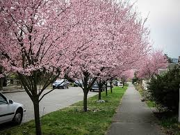 NonBearing Cherry Trees U2013 Why Am I Getting No Fruit From My Plum Tree Flowers But No Fruit