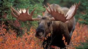 Moose Growth Chart 10 Gigantic Facts About Moose Mental Floss