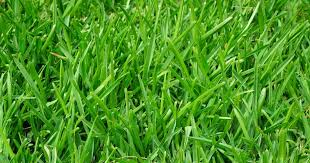 What Is Dollar Spot Fungus And How Can It Affect My Lawn