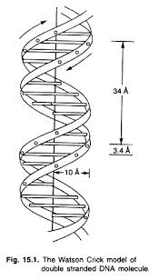 essay on dna meaning features and forms genetics watson crick model