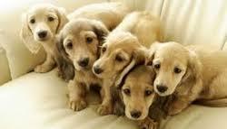 breeding pet dogs