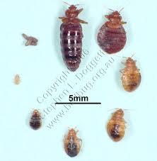 Bed Bug Images