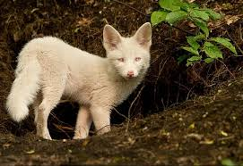 albino black panther. Plain Panther Some Of These Are Photoshopped And Some Completely Different  Species The Leopard With Albino Black Panther