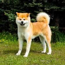 Akita Weight And Growth Chart American Akita Dog Breed Profile