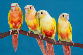 Green Cheeked Conures Avian Resources