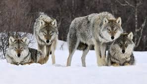 Картинки по запросу фото стая волков