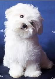 silky dog white. a toy dog covered from head to toe with mantle of long, silky white hair, the\u2026 t