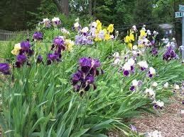<b>Long Island</b> Gardening: Irises – A colorful <b>rainbow</b> in the garden ...