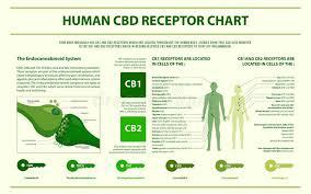 Cbd Chart Human Cbd Receptor Chart Horizontal Infographic Stock