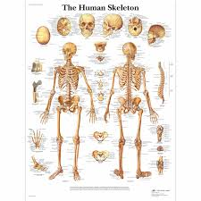 Human Bone Chart The Human Skeleton Laminated Chart Poster