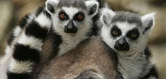"""Résultat de recherche d'images pour """"image lémuriens"""""""