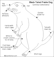 Prairie Dog Printout Enchantedlearningcom