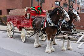 the budweiser clydesdales aren t in