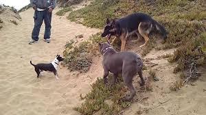 pitbull dog fights caught on tape. Contemporary Fights Throughout Pitbull Dog Fights Caught On Tape U