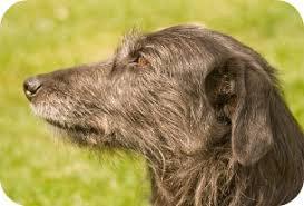 a lurcher hound