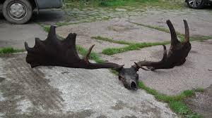 <b>Fishermen</b> Find 10,000-Year-Old <b>Skull and</b> Antlers of Extinct Giant Elk