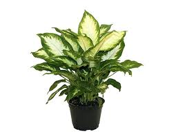 best low light office plants. Good Indoor Plants Winter House Dumb Cane Best For Low Light Office