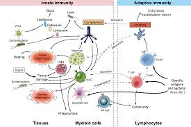 Innate And Adaptive Immune Mechanisms Creative Diagnostics