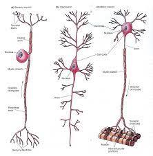 ระบบประสาทและอวัยวะรับสัมผัส (Nervous System and Sense Organ) Outline