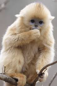 baby golden snub nosed monkey
