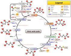 glycolysis glycogenesis glycogenolysis gluconeogenesis chart    kreb cycle   ค้นภาด้วย google