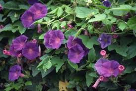 Making The Most Of Shade How To Plan Plant And Grow A Fabulous Climbing Plants That Like Shade