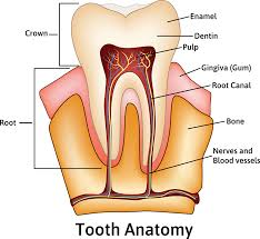 Image result for root canal structure