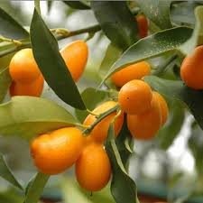 Fruit Trees For Small Garden Spaces  StuffconzSmall Orange Fruit On Tree