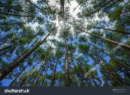 bo kaeo pine tree garden chiang mai thailand