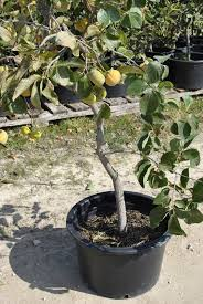 Growing Fruit Trees In Containers Part 2  Stark Brou0027sWhen Do You Plant Fruit Trees