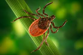 Cdc Tick Identification Chart What Is Lyme Disease New Findings Deepen The Mystery