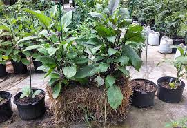 eggplants growing in a straw bale