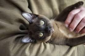 Burmese Kitten Weight Chart Burmese Cat Breed Information Pictures Characteristics Facts