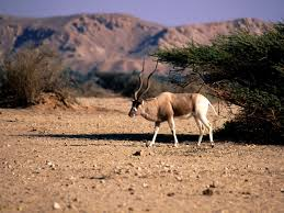 wild animals in african forest. Brilliant African The Ever Changing Animal Coat Addax Also The Screw Horn Antelope On Wild Animals In African Forest